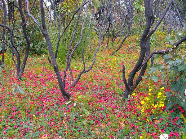 Flowering Bush Creeper, Leeuwin National Park, Western Australia