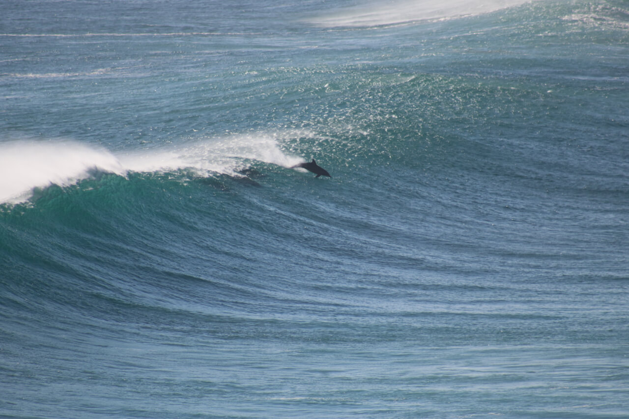 Dolphin surfing the waves of Cape Naturaliste